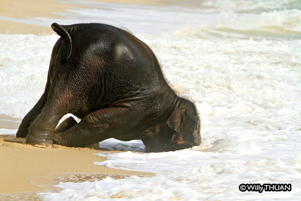 Baby Elephant Playing on the Beach: The real story behind the photos
