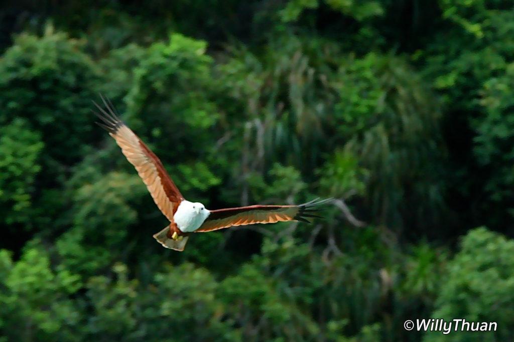 Bramany Kites flying behind the boat in Phang Nga