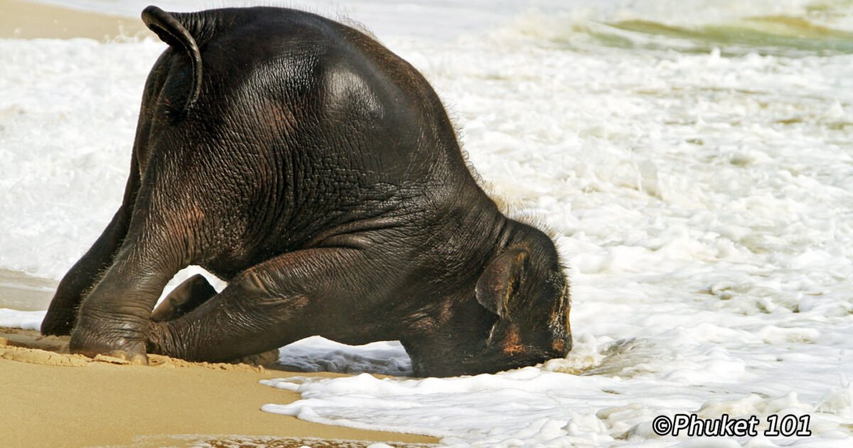Baby Elephant on the Beach in Phuket