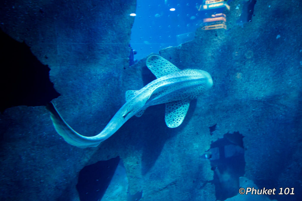 Leopard Shark Phuket