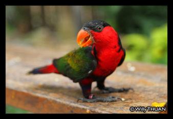 phuket-bird